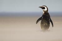 Magellanic penguin, Spheniscus magellanicus, Falkland Island