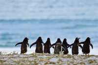 Gentoo penguins heading to sea, Pygoscelis papua, Falkland I
