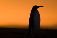 King penguin at sunset, Aptenodytes patagonicus, Falkland Is