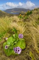 Campbell Island daisy, Pleurophyllum speciosum, Campbell Isl