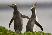 Yellow-eyed penguins, Megadyptes antipodes, Auckland Island,