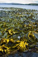 Bull kelp, Durvillaea sp., Auckland Island, New Zealand