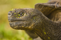 Galapagos giant tortoise, Chelonoidis nigra, Floreana Island