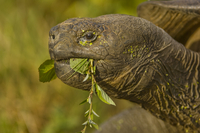 Galapagos giant tortoise eating foliage, Chelonoidis nigra,