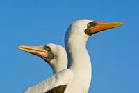 Masked booby pair, Sula dactylatra, Tower Island, Galapagos