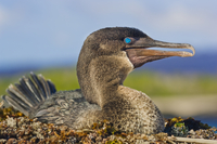 Flightless cormorant on nest, Phalacrocorax harrisi, Galapag