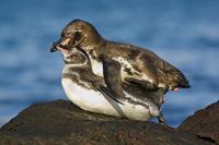 Galapagos penguins mating, Spheniscus mendiculus, Bartholome