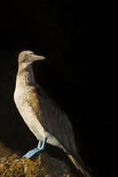 Blue-footed booby, Sula nebouxii, Bartholome Island, Galapag