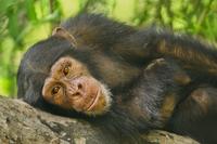 Chimpanzee young male, Pan troglodytes verus, Fongoli, Seneg