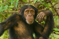 Young chimpanzee male, Pan troglodytes verus, Fongoli, Seneg