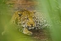 Leopard, Panthera pardus, Niokolo-Koba National Park, Senega