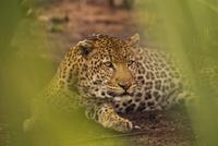 Leopard, Panthera pardus, Senegal 02314005767| 写真素材・ストックフォト・画像・イラスト素材|アマナイメージズ