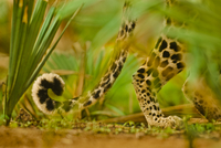 Leopard tail, Panthera pardus, Niokolo-Koba National Park, S