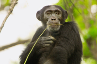 Chimpanzee male with twig used for termite fishing, Pan trog