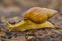 Snail, Senegal