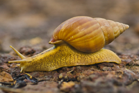 Snail, Senegal 02314005776| 写真素材・ストックフォト・画像・イラスト素材|アマナイメージズ