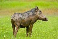Warthog, Phacochoerus africanus, Niokolo-Koba National Park,