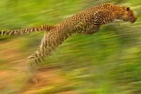 Leopard leaping, Panthera pardus, Niokolo-Koba National Park