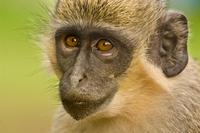 Green Vervet Monkey, Chlorocebus sabaeus, Niokolo-Koba Natio