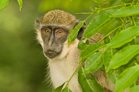 Green monkey, Chlorocebus sabaeus, Niokolo-Koba National Par