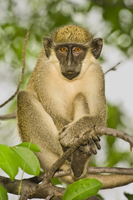 Green Vervet Monkey resting in tree, Chlorocebus sabaeus, Ni