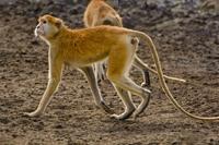 Patas monkeys, Erythrocebus patas, Bandia Reserve, Senegal