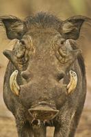 Warthog male, Phacochoerus africanus, Bandia Reserve, Senega