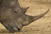 White rhinoceros grazing, Ceratotherium simum, Bandia Reserv