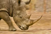 White rhino running, Ceratotherium simum, Bandia Reserve, Se