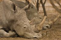 White rhinos resting, Ceratotherium simum, Bandia Reserve, S