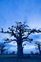 Baobab grove near Bandia Reserve, western Senegal