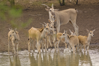Giant elands at waterhole, Taurotragus derbianus, Bandia Res