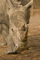 White rhinoceros walking, Ceratotherium simum, Bandia Reserv