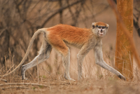 Patas monkey, Erythrocebus pata, Bandia Reserve, Senegal 02314005800| 写真素材・ストックフォト・画像・イラスト素材|アマナイメージズ