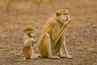 Patas monkey mother and young, Erythrocebus patas, Bandia Re