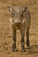 Warthog jeuvenile, Phacochoerus africanus, Bandia Reserve, S