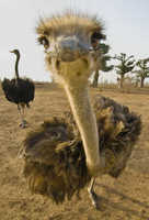 Ostrich close up, Struthio camelus, Bandia Reserve, Senegal