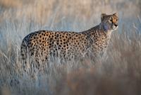 Cheetah, Acinonyx jubatus, Cheetah Conservation Fund, Namibi