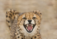 Cheetah snarling, Acinonyx jubatus, Cheetah Conservation Fun