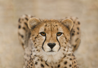 Cheetah, Acinonyx jubatus, Cheetah Conservation Fund, Namibi