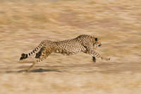 Cheetah running, Acinonyx jubatus, Cheetah Conservation Fund