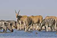 Elands, Taurotragus oryx, and zebras, Equus quagga, at water