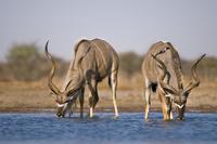 Greater kudu males at waterhole, Tragelaphus strepsiceros, E 02314005894| 写真素材・ストックフォト・画像・イラスト素材|アマナイメージズ