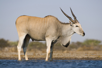 Eland male at waterhole, Taurotragus oryx, Etosha National P