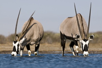 Oryxes drinking at waterhole, Oryx gazella, Etosha National