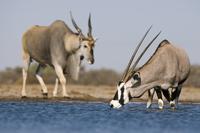 Oryx, Oryx gazella, and eland, Taurotragus oryx, at waterhol 02314005897| 写真素材・ストックフォト・画像・イラスト素材|アマナイメージズ