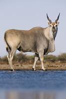 Eland male at waterhole, Taurotragus oryx, Etosha National P