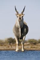 Eland male at waterhole, Taurotragus oryx, Etosha National P 02314005899| 写真素材・ストックフォト・画像・イラスト素材|アマナイメージズ