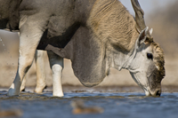 Eland male drinking at waterhole, Taurotragus oryx,  Etosha  02314005903| 写真素材・ストックフォト・画像・イラスト素材|アマナイメージズ