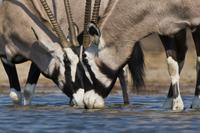 Oryxes drinking at waterhole, Oryx gazella, Etosha National  02314005904| 写真素材・ストックフォト・画像・イラスト素材|アマナイメージズ